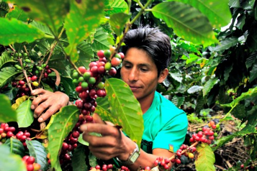 Man picking coffee cherries
