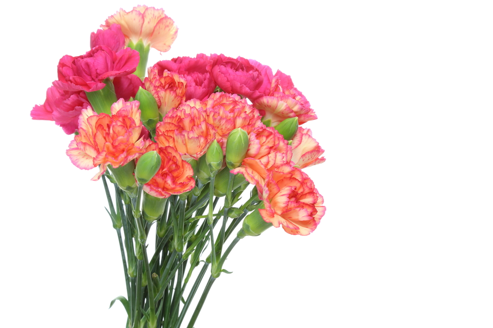 Exporting Carnations To Europe Cbi Centre For The Promotion Of Imports From Developing Countries