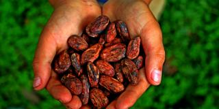 Hands with cacaobeans