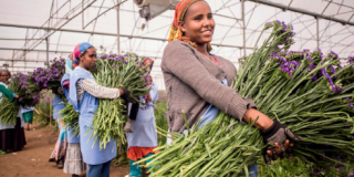 Women in greenhouse carrying large bunches of flowers