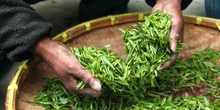 Hands holding fresh tea leaves